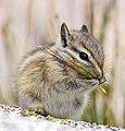 Chipmunk youngster (28581363706).jpg