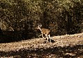 Chital, Bandhavgarh National Park, India.jpg