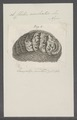 Chiton aculeatus - - Print - Iconographia Zoologica - Special Collections University of Amsterdam - UBAINV0274 081 06 0021.tif