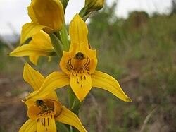 Chloraea gavilu Lindl. (pabloendemico).jpg