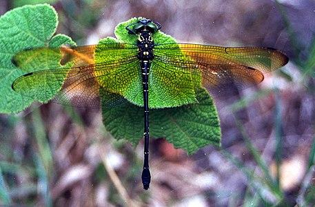 Chlorogomphus campioni by Subramanian K A.jpg