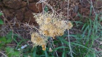 Chromolaena odorata - Seeds ready to be dispersed.