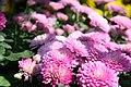 Chrysanthemum Debonair 3zz.jpg