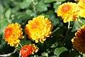 Chrysanthemum Fiotto 0zz.jpg