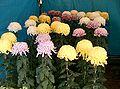 Chrysanthemum morifolium cvs2.jpg