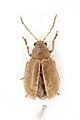 Chrysomelidae, Arimetus sp.; Ivory Coast; 2017-201.jpg