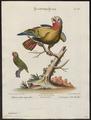 Chrysotis leucocephalus - 1700-1880 - Print - Iconographia Zoologica - Special Collections University of Amsterdam - UBA01 IZ18600121.tif