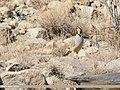 Chukar Partridge (Alectoris chukar) (28330602689).jpg