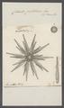 Cidarites pistillaris - - Print - Iconographia Zoologica - Special Collections University of Amsterdam - UBAINV0274 107 03 0015.tif