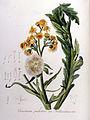 Cineraria palustris var. hollandica — Flora Batava — Volume v8.jpg