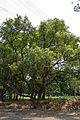 Cinnamomum camphora - Indian Botanic Garden - Howrah 2013-03-31 5725.JPG