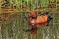 Cinnamon Teal Drake Seedskadee NWR (17777271274).jpg