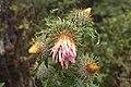 Cirsium subcoriaceum-0745 - Flickr - Ragnhild & Neil Crawford.jpg