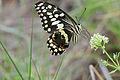 Citrus Swallowtail (Papilio demodocus) (17234241030).jpg