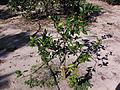 Citrus greening01.JPG