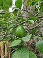 Citrus limon - পাতিলেবু.jpg