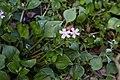 Claytonia sibirica (Montiaceae) (26796832684).jpg