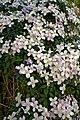 Clematis montana var. rubens at Myddelton House, Enfield, London, England detail 01.jpg