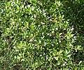 Clerodendrum inerme (Seaside Clerodendrum) in Hyderabad, AP W IMG 8996.jpg