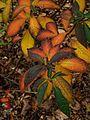 Clethra delavayi - Flickr - peganum (2).jpg