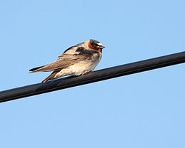 Cliff Swallow (5675885216).jpg