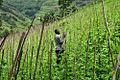 Climbing beans uganda2 lo.jpg