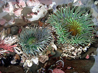 Clone war of sea anemones.jpg