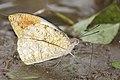 Close wing mud-puddling of Hebomoia glaucippe Linnaeus, 1758 – Great Orange-tip Butterflies of Pakke - 7.jpg