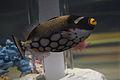Clown Triggerfish (Balistoides conspicillum) (15257925268).jpg