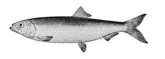 Pacific herring - Image: Clupea pallasii pallasii