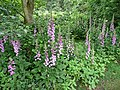 Cluster of foxgloves, Digitalis purpurea - geograph.org.uk - 827285.jpg