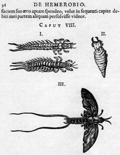 Clutius 1634 De Hemerobio mayflies