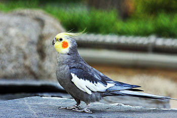 English: Cockatiel Parakeet (Nymphicus holland...