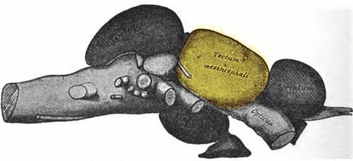 Cod brain showing tectum