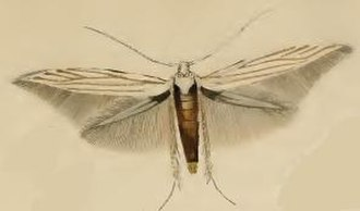 Coleophora pennella - Image: Coleophora pennella