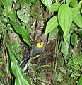 Collared Redstart on Nest.JPG