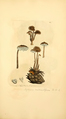 Coloured Figures of English Fungi or Mushrooms - t. 267.png