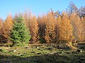 Coloured Larchtrees because of the autumn and the needles that will fall down. The fir stays green - panoramio.jpg
