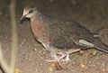 Columba larvata, onvolwassene, Eshowe, Birding Weto, a.jpg