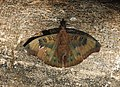 Common Baron Euthalia aconthea by Raju Kasambe DSCN3168 (1).jpg