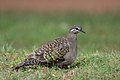 Common Bronzewing (Phaps chalcoptera) female (42990414092).jpg