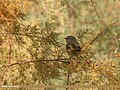 Common Chiffchaff (Phylloscopus collybita) (23564188659).jpg