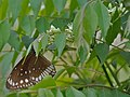 Common Indian Crow (Euploea core) on a Kadi Patta (Murraya koenigii) tree at Jayanti, Duars, West Bengal W Picture 229.jpg
