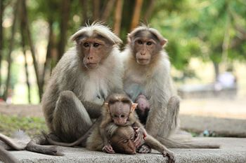 Common Indian monkey.jpg