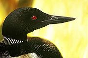 Common Loon head sideways