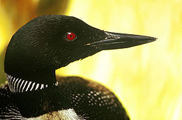 Common Loon head sideways.jpg