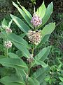 Common Milkweed (2984595871).jpg