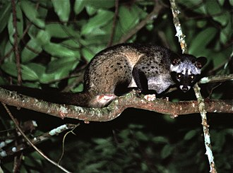 Asian palm civet - In the Khao Yai National Park, Thailand