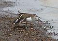 Common Sandpiper, Actitis hypoleucos, Chobe National Park, Botswana (32249501731).jpg