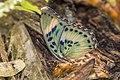 Common ceres forester (Euphaedra phaethusa phaethusa) male underside.jpg